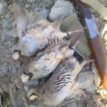 عامل شکار سه قطعه کبک وحشي در شهرستان زیرکوه دستگیر شد.