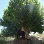 مجموعه چنارهای کهنسال تجنود خراسانجنوبی در فهرست میراث طبیعی ملی ثبت شد؛