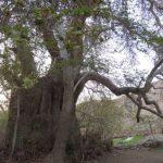 همچنان استوار؛  چون درخت چنار «دوشنگان» شهرستان درمیان با ۷۵۰ سال قدمت؛
