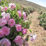 پیش بینی برداشت ۸۵ تن گل محمدی از مزارع استان؛