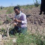 ۱۶۰۰ هکتار از باغات پسته به باروری اقتصادی رسیده است