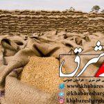 خرید تضمینی ۱۶ هزار تن گندم در استان؛