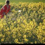 ۲۱۰ تن کلزا از کشاورزان خراسان جنوبی خریداری شد