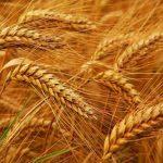 خرید ۱۸۵۷ تن گندم از کشاورزان طبس