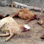 گرگهای گرسنه ۴۰ رأس گوسفند را در سربیشه دریدند