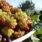 ۱۴۰۴  تن انگور از باغات شهرستان سرایان برداشت می شود .