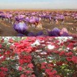 برداشت زرشک و زعفران،جاذبه ای برای گردشگران خارجی