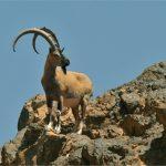 آغاز سرشماری سالانه گونههای حیات وحش در استان؛