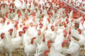 چه کنیم مرغ ارزان شود