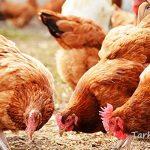 کشف هزار و ۵۰۰قطعه مرغ زنده قاچاق در سربیشه